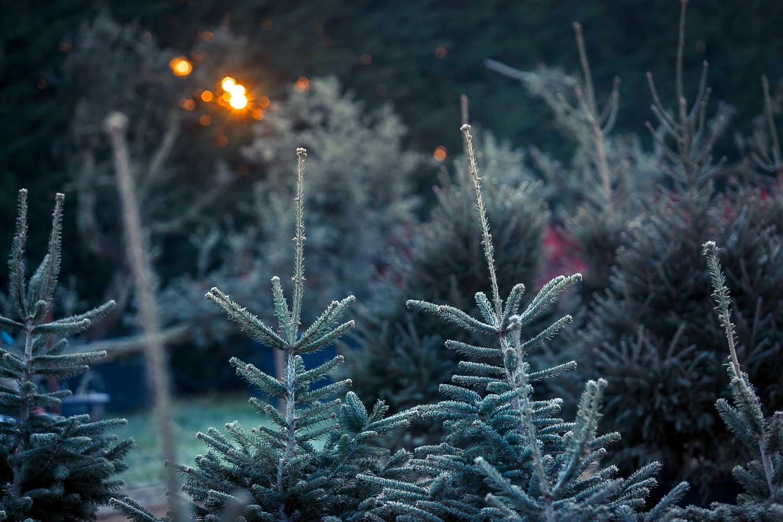 Vivaio alberi di natale abies nordmanniana ed altre piante for Vivaio alberi